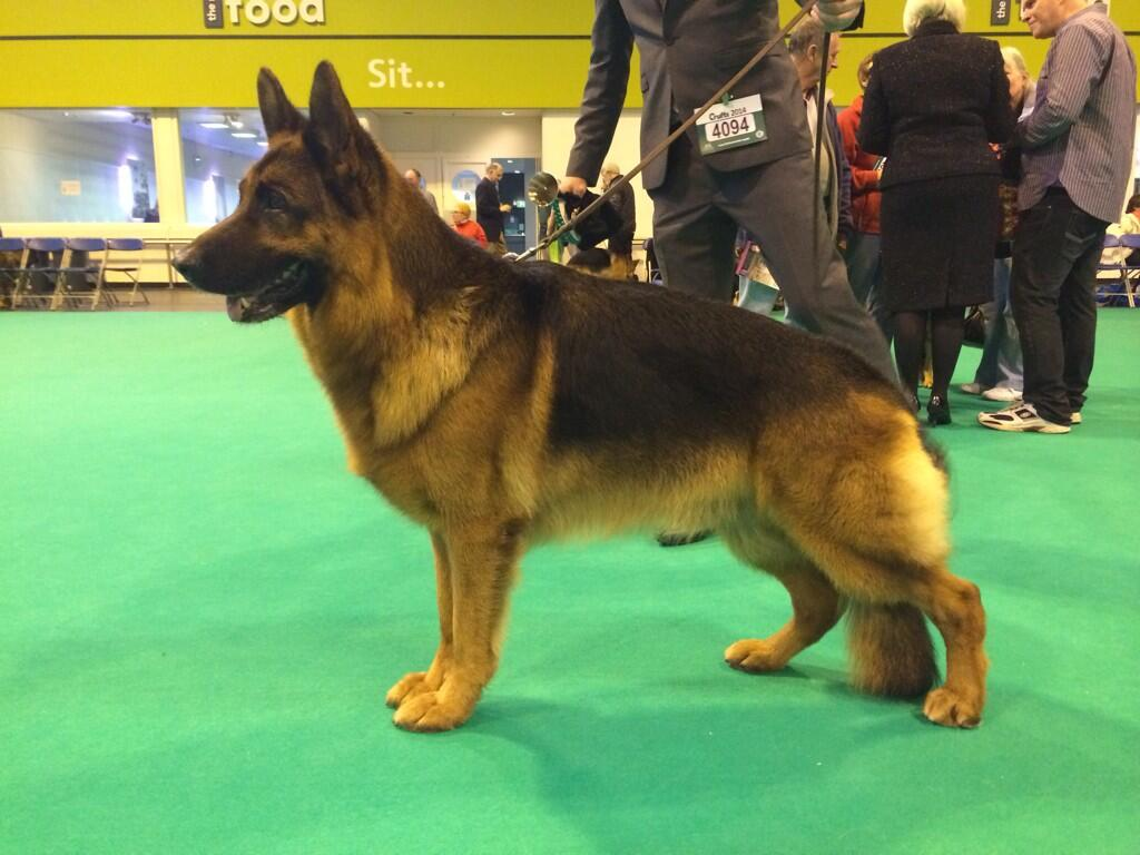 Video: Crufts 2014 - German Shepherd Best of Breed