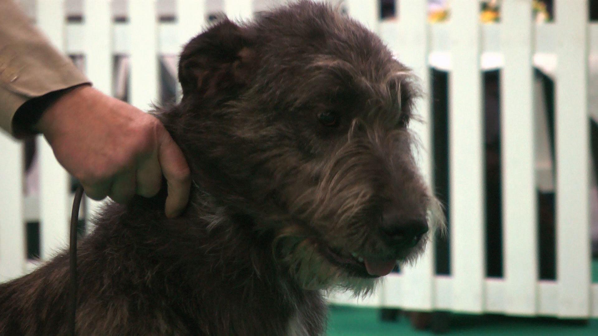 Birmingham National 2015 - Best puppy in show