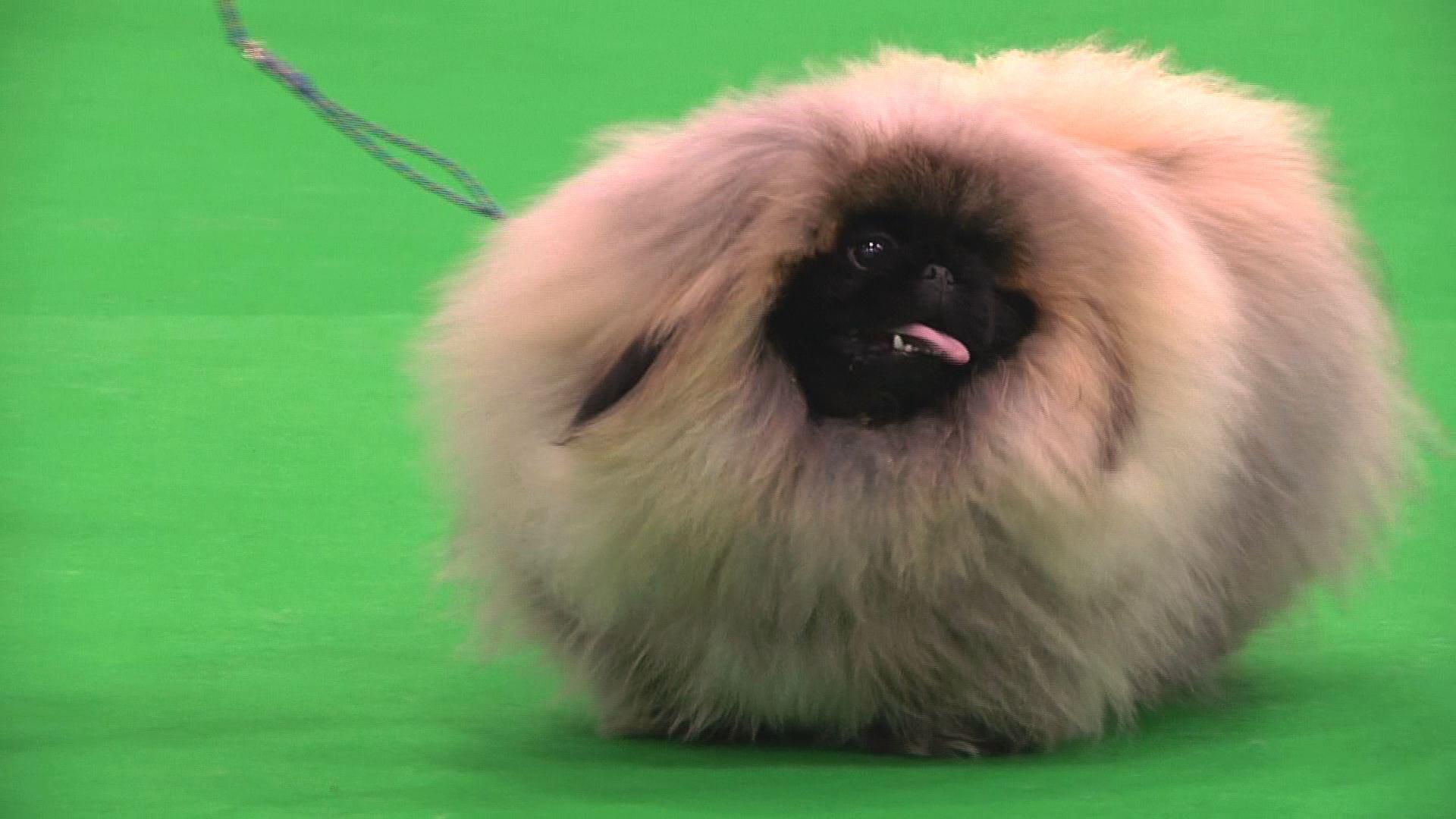City of Birmingham 2015 - Best Puppy in Show