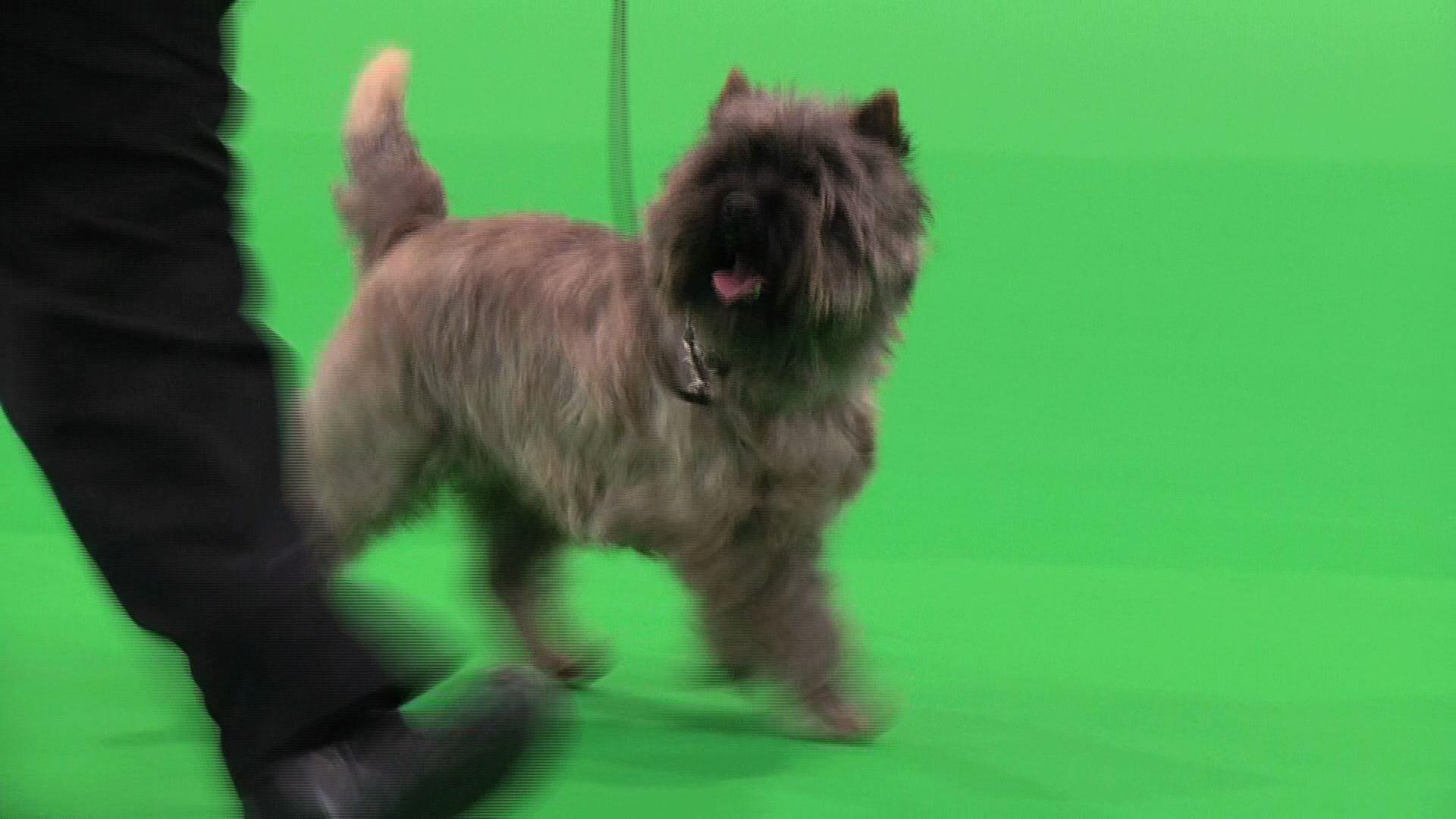 City of Birmingham 2015 - Terrier group