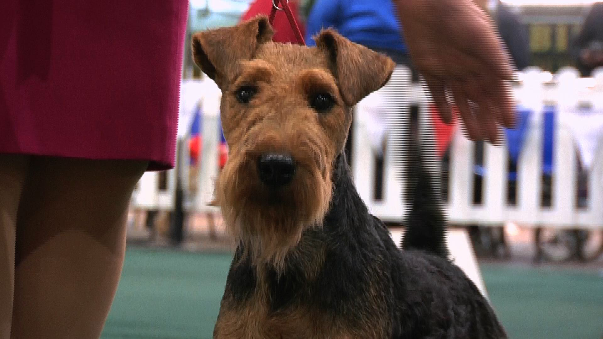 National Terrier 2016 - Best Puppy in Show