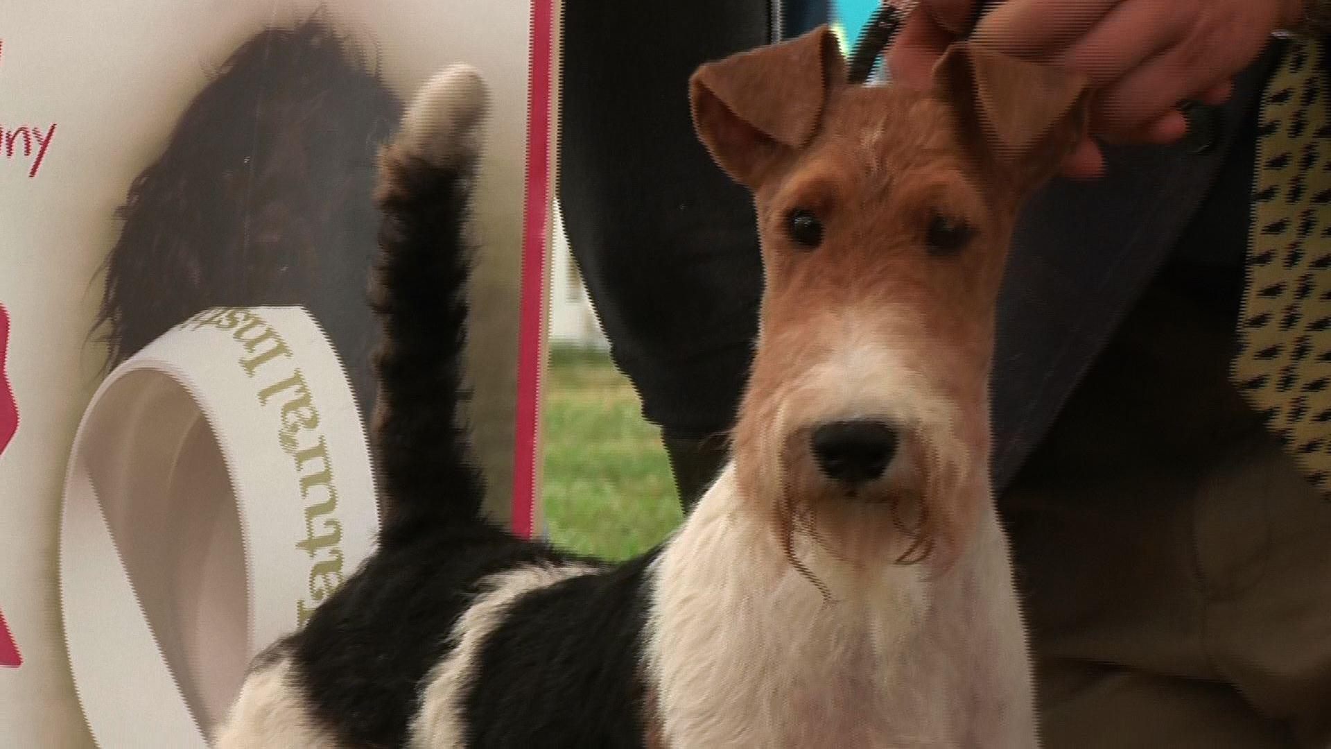 Richmond 2016 - Terrier group