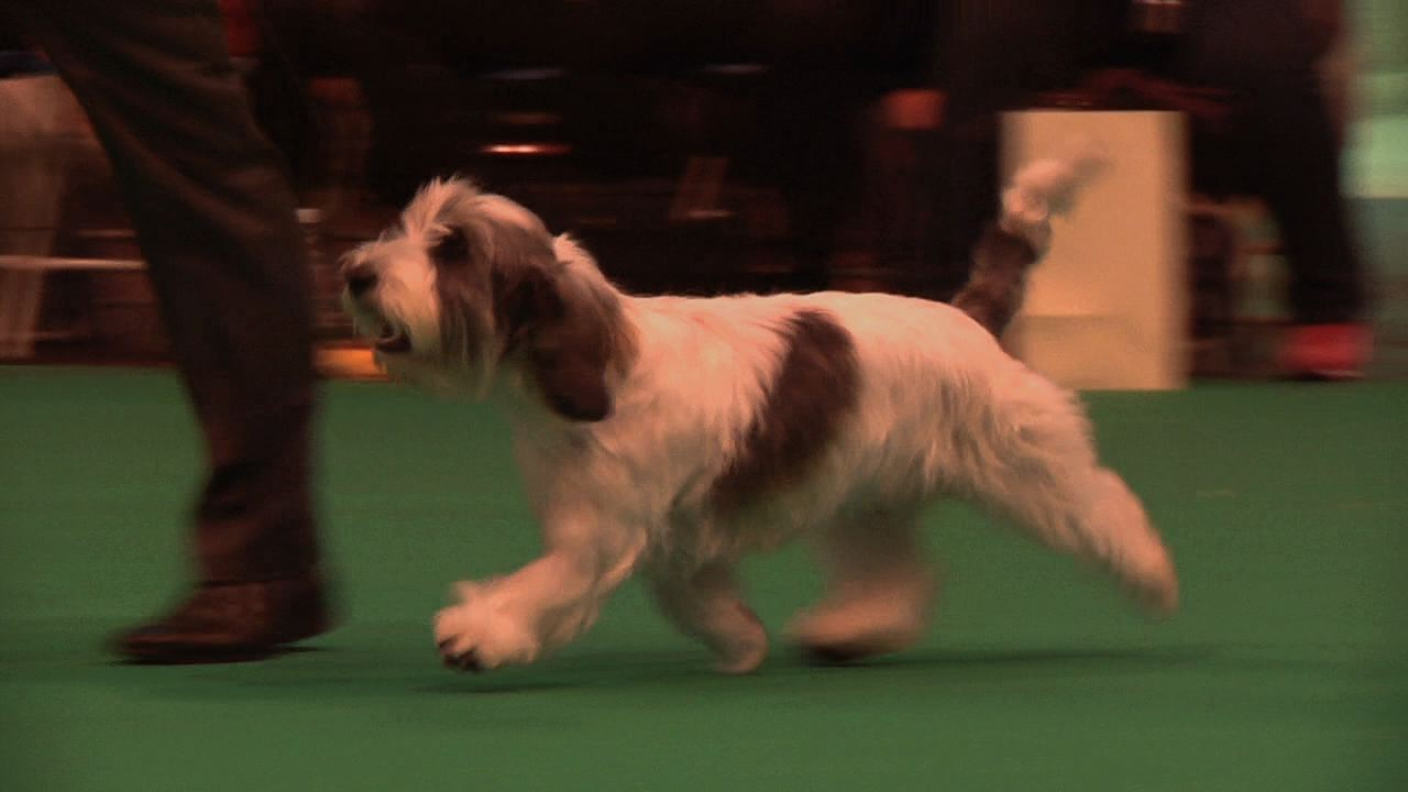 Crufts 2013 PBGV Best of Breed