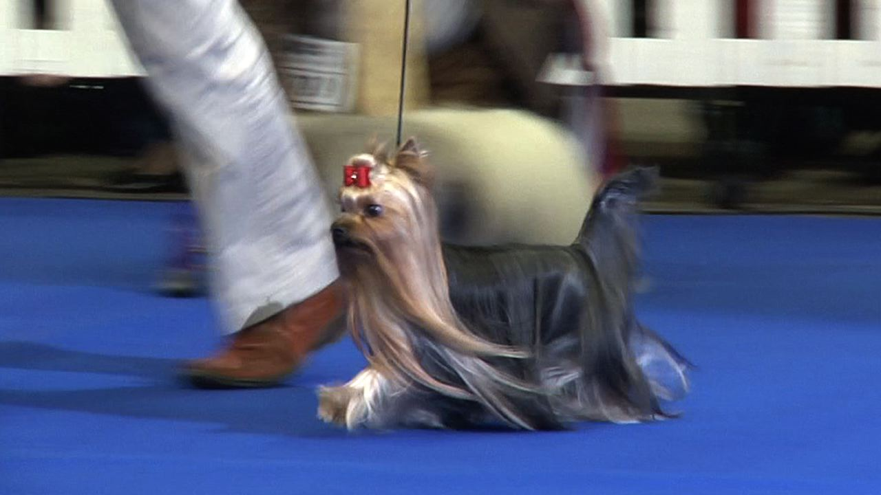 UK Toy Dog Best in Show 2013